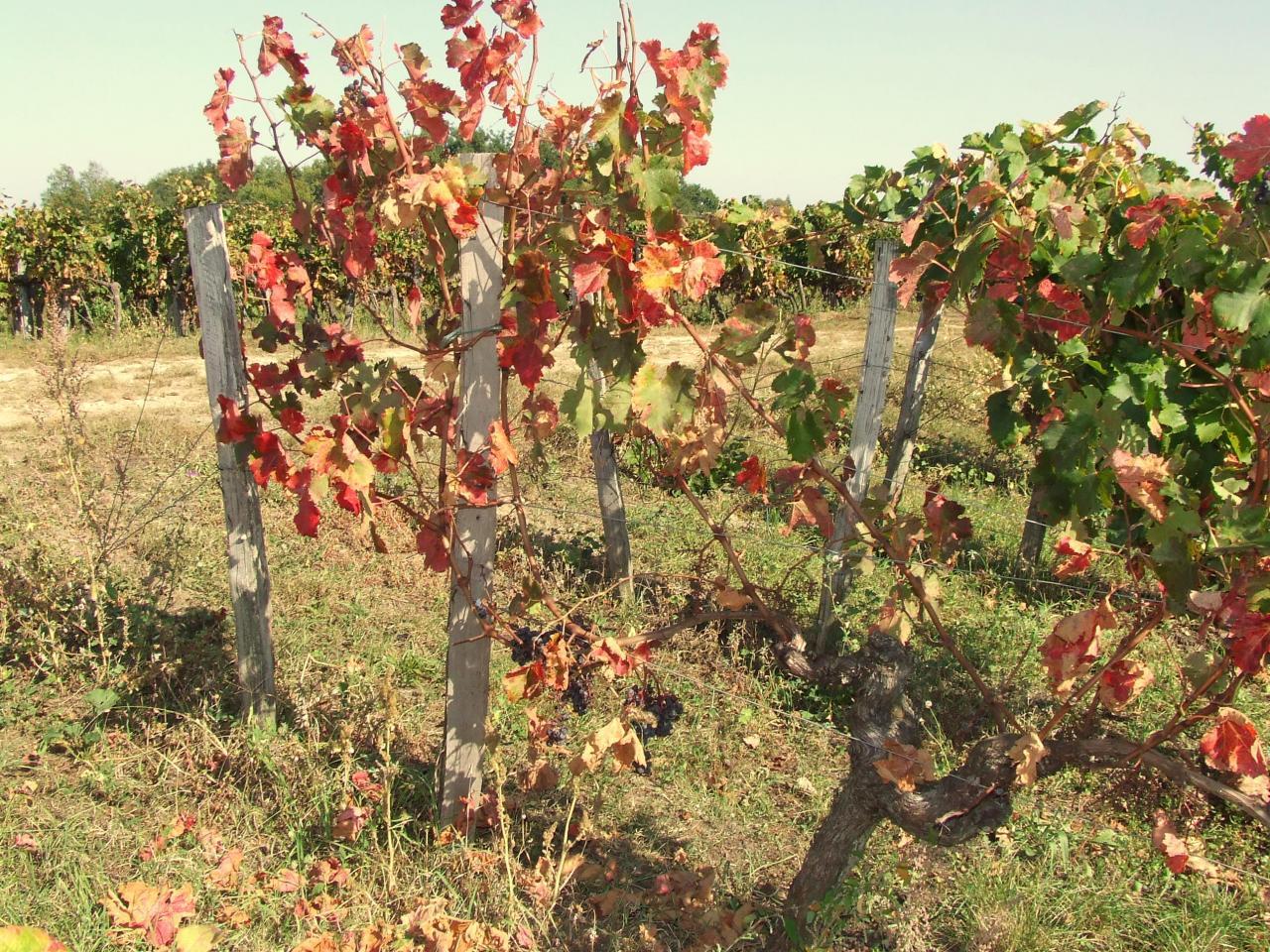 Saint-Aignan, une vigne après les vendanges