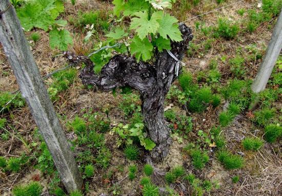 Lugon-et-l'Ile-du-Carney, un village de grands crus, un pied de vigne