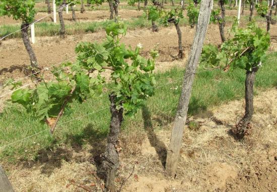 Arveyres, quelques jeunes plans de vigne