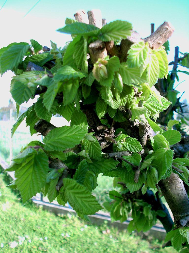 Arveyres, des feuilles de noisetiers
