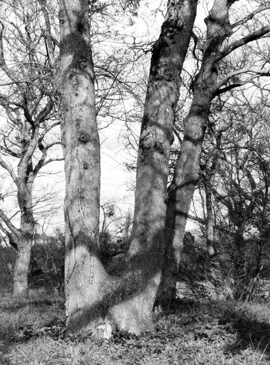 Arveyres, encore les arbres de la Commanderie des Templiers