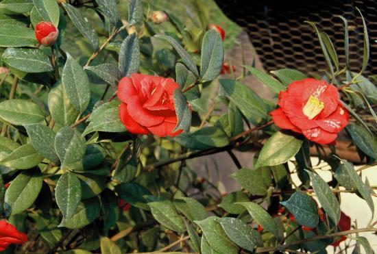 roses et camélia