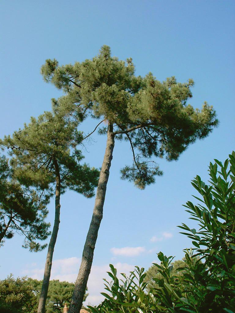 St.Brévin-les-pins en Loire-Atlantique, des pins